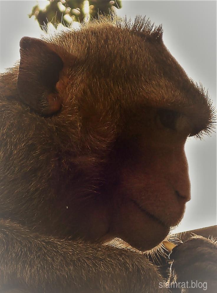 1007 Lop Buri Monkeys v